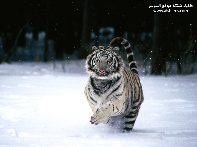 wallpaper tiger. patronus a snow tiger.